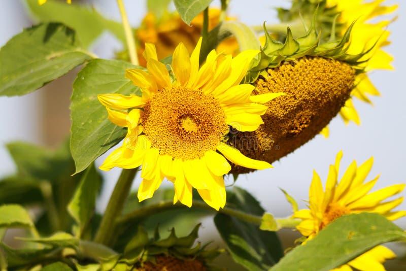 Закройте вверх желтого цветеня annuus подсолнечника солнцецвета и зеленых листьев сравнивая с голубым небом перед увядать в осени стоковые фотографии rf