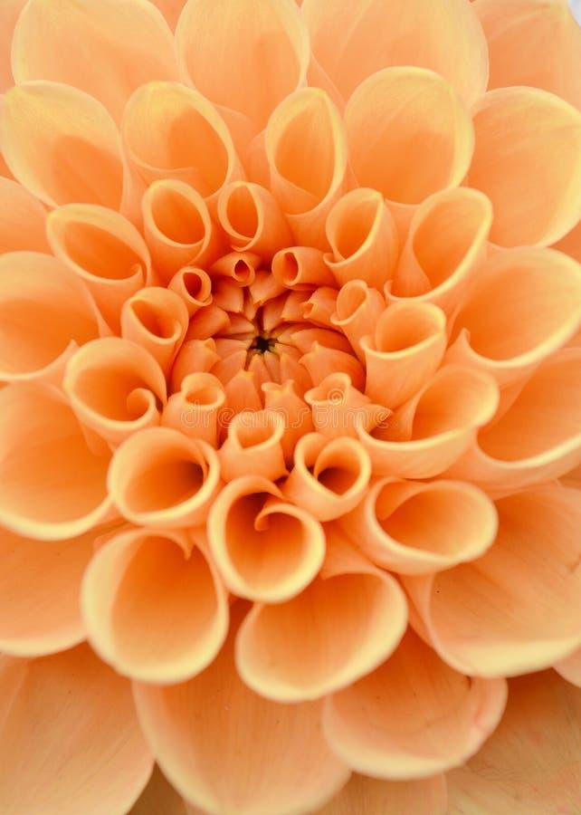 Закройте вверх желтых маргариток стоковое фото