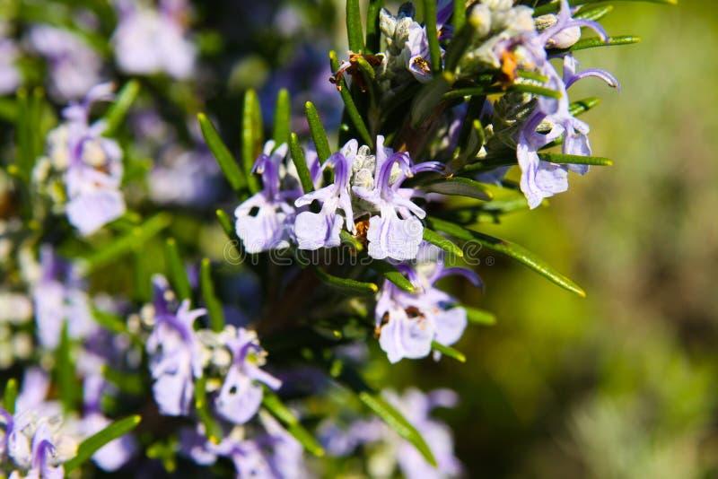 Закройте вверх зацветая officinalis Rosmarinus куста розмаринового масла весной стоковая фотография rf