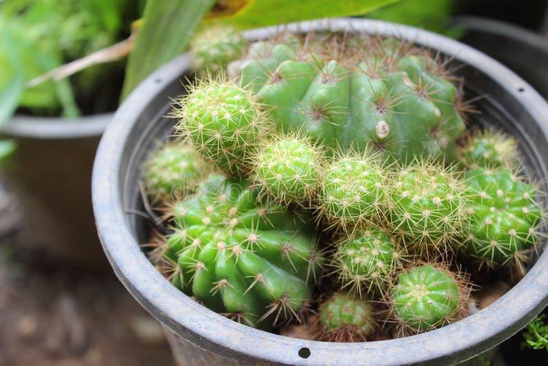 Закройте вверх зеленого кактуса в баке стоковое изображение