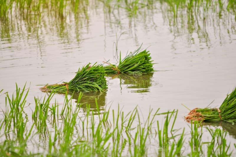 Закройте вверх зеленого поля риса в воде стоковое изображение rf