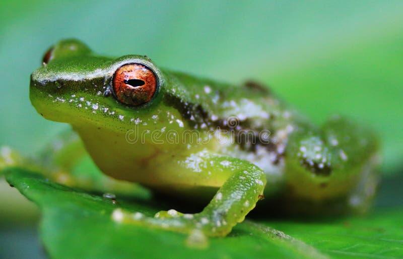 Закройте вверх зеленой лягушки с ярким оранжевым глазом стоковые изображения rf