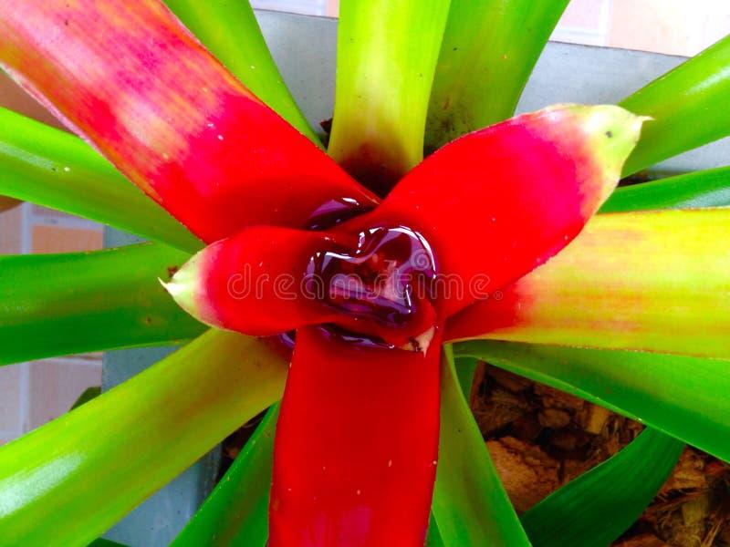 Закройте вверх зеленого красного bromeliad лист стоковые фото