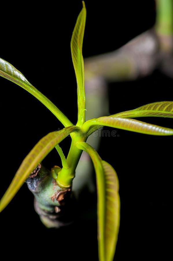 Закройте вверх, листья зеленого цвета, молодая сажа, изолированный росток, стоковые фото