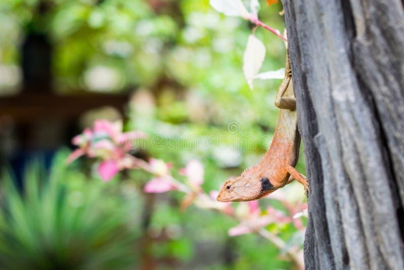 Закройте вверх коричневого хамелеона в саде, Таиланда, Азии стоковое фото rf