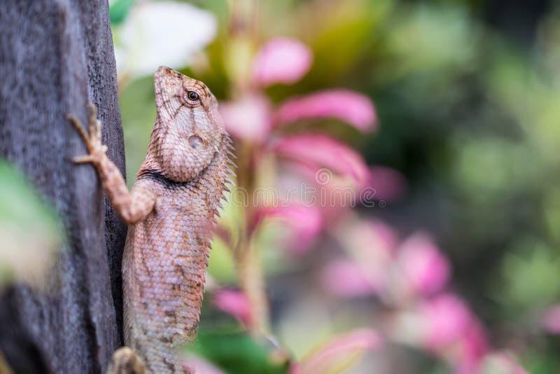 Закройте вверх коричневого хамелеона в саде, Таиланда, Азии стоковые фотографии rf