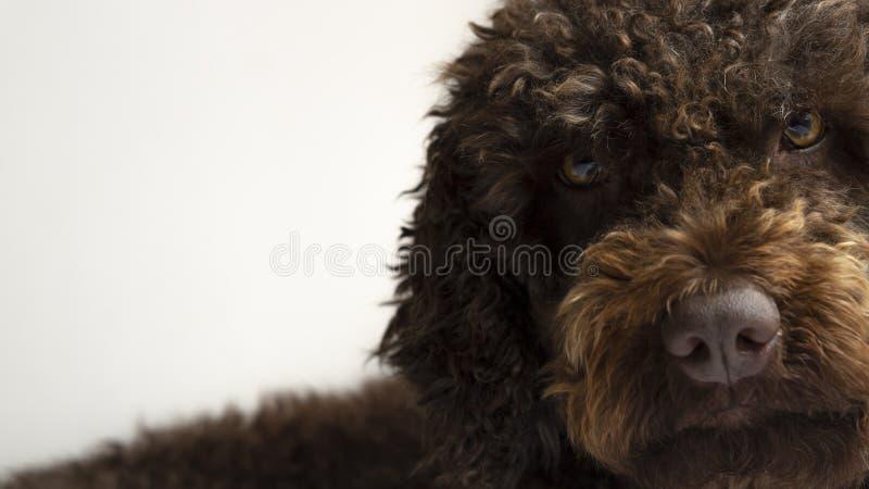 Закройте вверх коричневой собаки воды смотря очень заинтересованный к фронту пока планирующ что-то стоковые фото