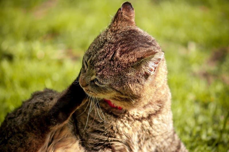 Закройте вверх кота сидя и царапая его голова с лапкой на зеленой предпосылке стоковые фотографии rf