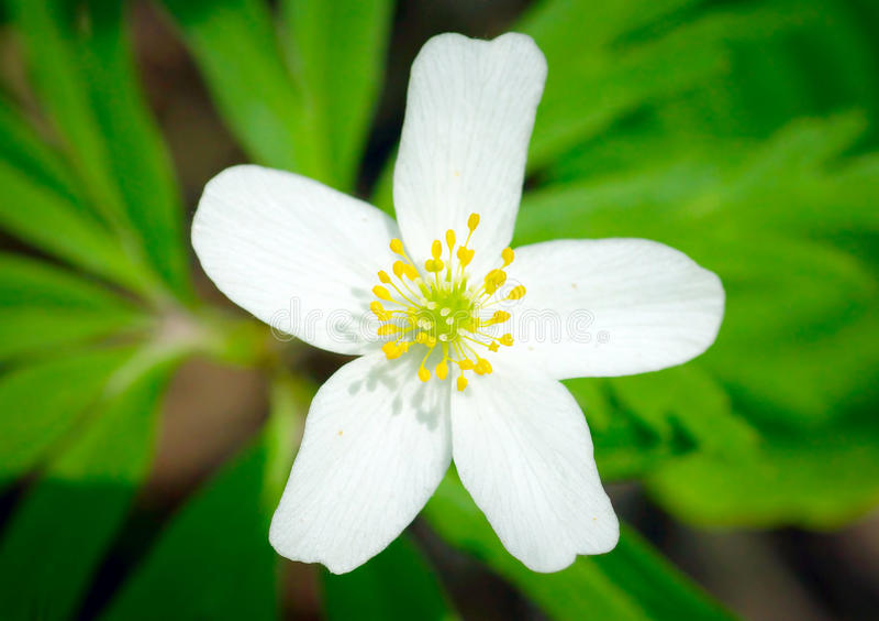 Закройте вверх красивого белого цветка на зеленой предпосылке стоковое фото rf