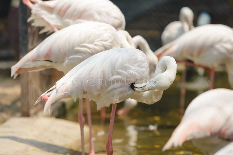 Закройте вверх красивого розового ruber Phoenicopterus птицы фламинго стоковые изображения rf