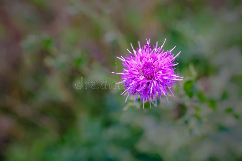 Закройте вверх красивого фиолетового розового цветка thistle стоковая фотография