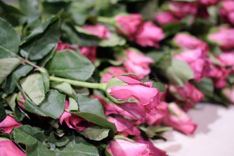 Закройте вверх красивой розы пинка стоковое фото