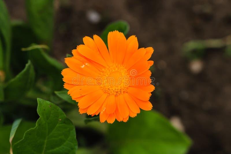 Закройте вверх красивых ноготк бака calendula и предпосылки зеленых листьев стоковая фотография rf