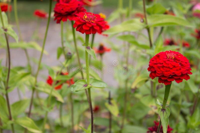 Закройте вверх красного цветка Zinnia в саде или парке стоковое изображение rf