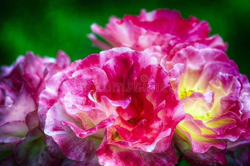 Закройте вверх красных желтых роз Varigated пинка стоковые фотографии rf