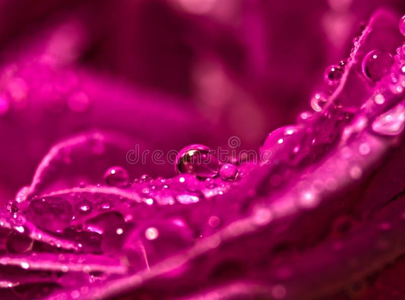 Закройте вверх красных фиолетовых лепестков розы с капельками воды стоковые изображения