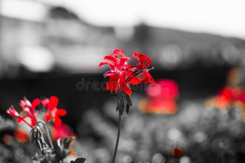 Закройте вверх красных цветков с desatured предпосылкой в черно-белом Тоскливость Изображение цветка макроса стоковое фото rf