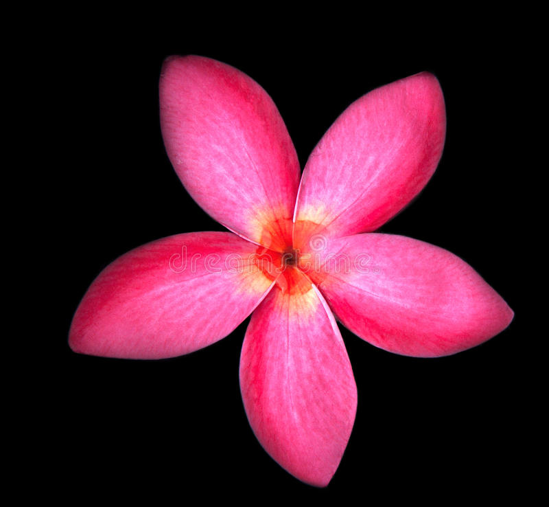 Download Закройте вверх красных цветков Frangipani на черной предпосылке Стоковое Изображение - изображение насчитывающей уединение, красивейшее: 40590023