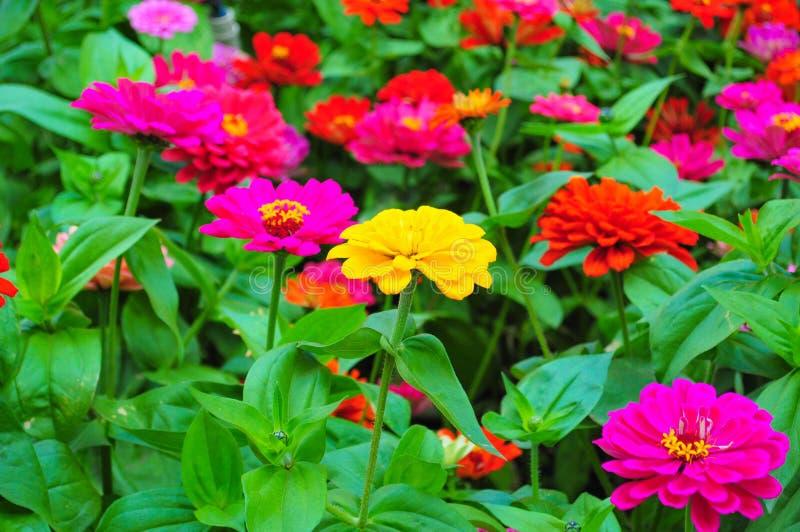 Закройте вверх красочных цветков маргаритки в саде стоковые изображения rf
