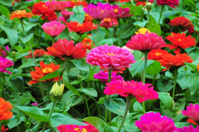 Закройте вверх красочных цветков маргаритки стоковые фото