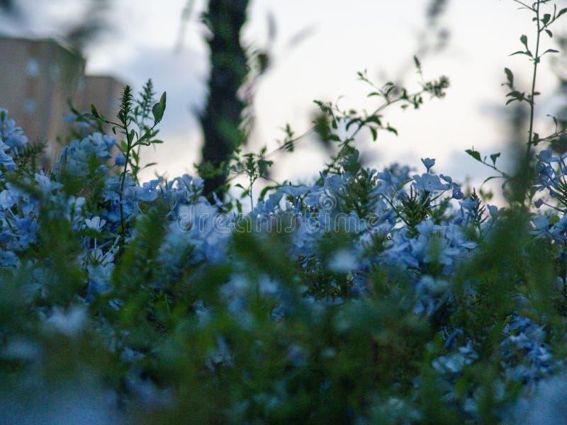 Закройте вверх куста зацветая с цветками голубого бархата маленькими стоковое изображение