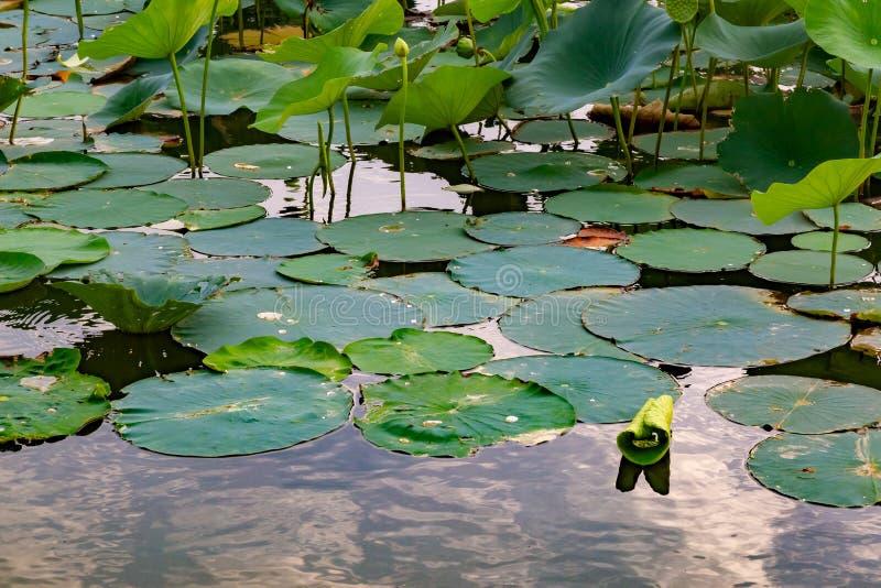 Закройте вверх лилии воды на озере Айове Картер с данником реки стоковое изображение rf