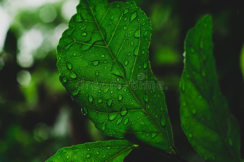 Закройте вверх, макрос снятый лист Grean в лесе после дождя стоковая фотография rf