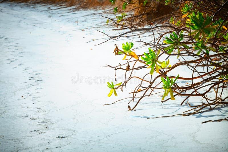 Закройте вверх мангров пристаньте к берегу на острове Fulhadhoo Мальдивов с белыми песчаным пляжем и ладонью моря и кривой стоковые изображения rf