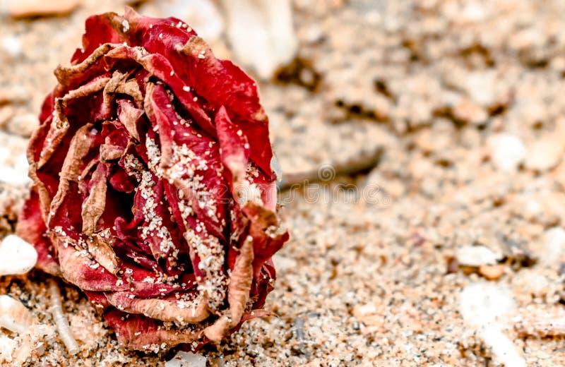 Закройте вверх мертвого Роза, красный в цвете, всем высушенного вверх и лежащ на пляже, с сухими лепестками предусматриванными в  стоковые изображения rf