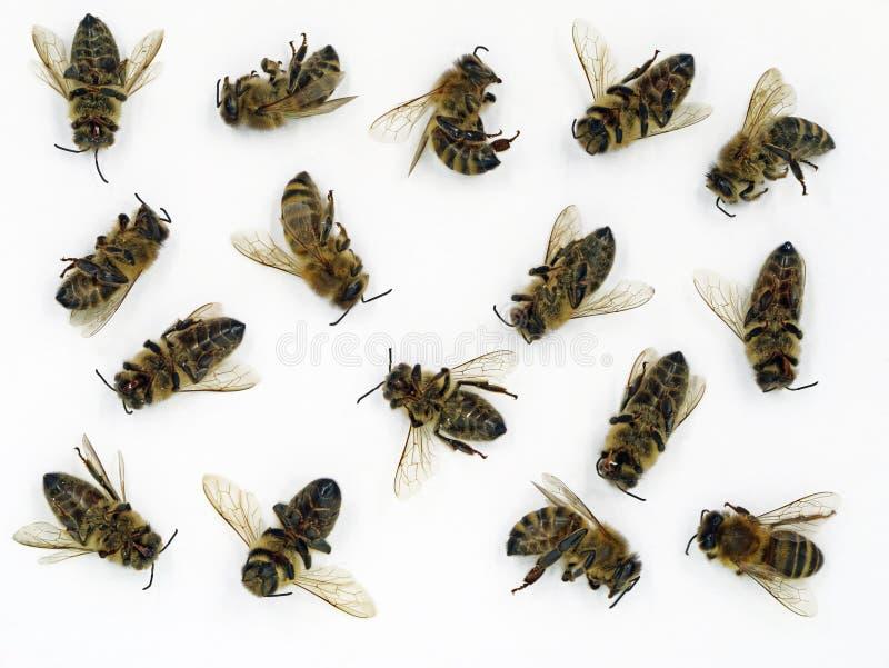 Закройте вверх мертвых пчел изолированных на белой предпосылке, концепции пчел умрите стоковое фото