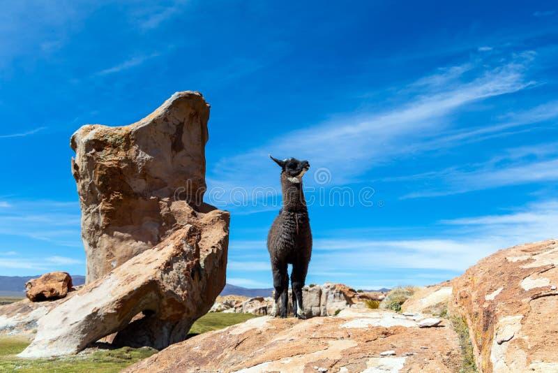 Закройте вверх милых и смешных альпак, Анд Боливии, Южной Америки стоковые фотографии rf