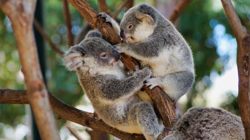 Закройте вверх милых медведей коалы на дереве стоковые изображения rf
