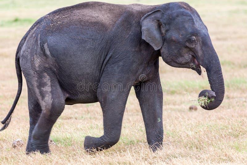 Закройте вверх молодого дикого индийского слона с хоботом вполне травы стоковое фото