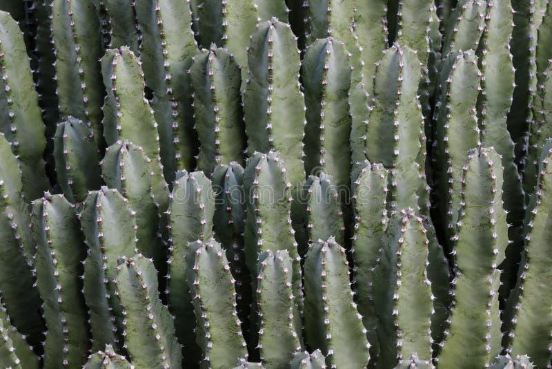 Закройте вверх морокканского завода Spurge смолы насыпи Уроженец Марокко Ровная зеленая кожа; терновые иглы на краях стоковые изображения