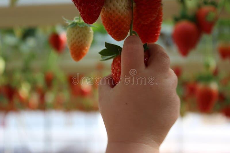 Закройте вверх на маленькой руке child's держа клубнику стоковое фото rf