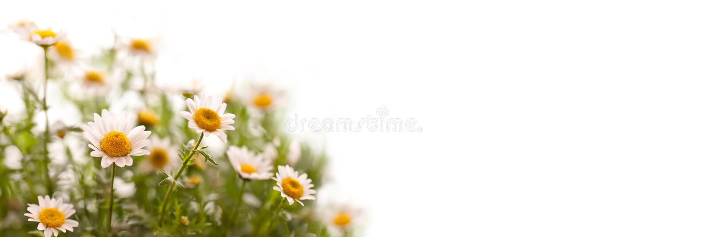 Закройте вверх на маргаритках, панорамной белой предпосылке стоковое изображение rf