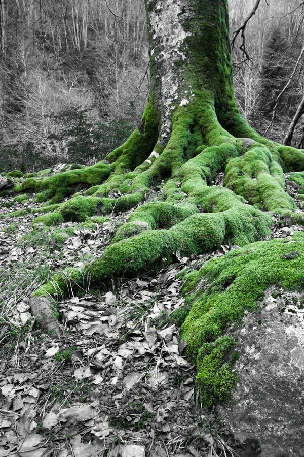 Закройте вверх на мшистых корнях дерева бука в лесе wintertime стоковое фото