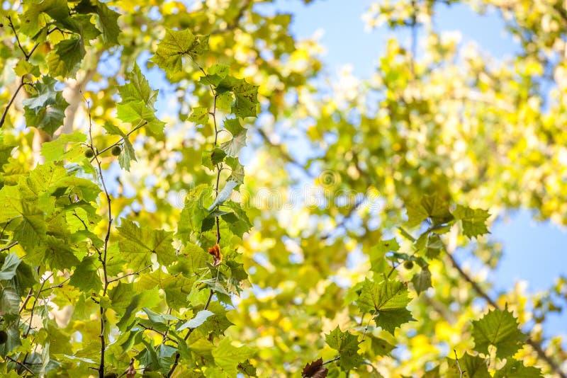 Закройте вверх на плоском дереве со своими желтыми и зелеными листьями, в осени Также как явор, или платан стоковые изображения rf