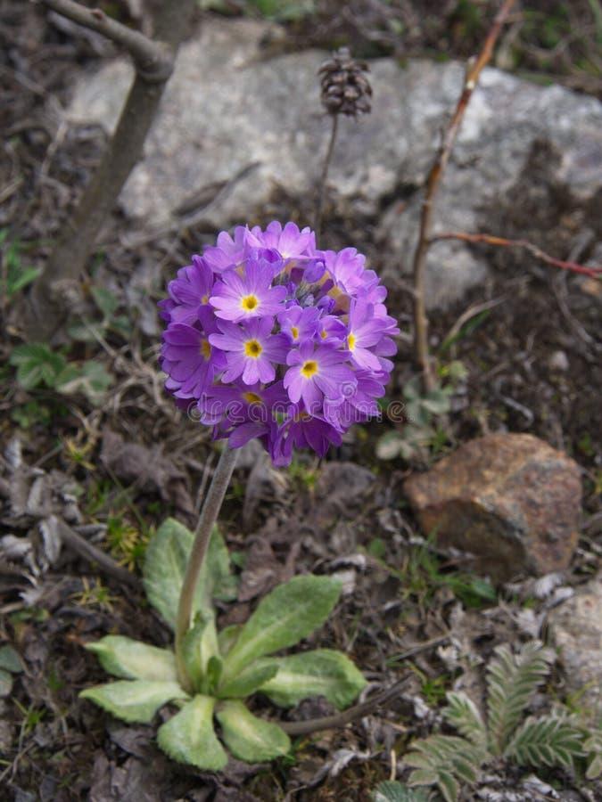Закройте вверх на цветках вербены Hybrida вербены Розовый и фиолетовый Ve стоковая фотография