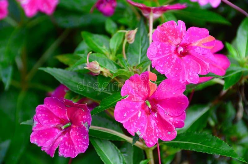 Закройте вверх нескольких цветков pansy в саде стоковое изображение