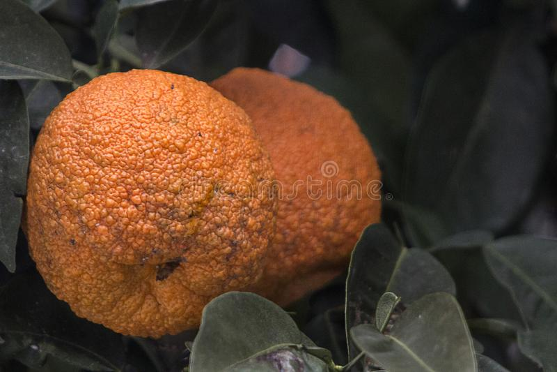 Закройте вверх несколько апельсинов Севильи с необыкновенной грубой кожей Геронтология и концепция заботы кожи с некоторым космос стоковые фотографии rf