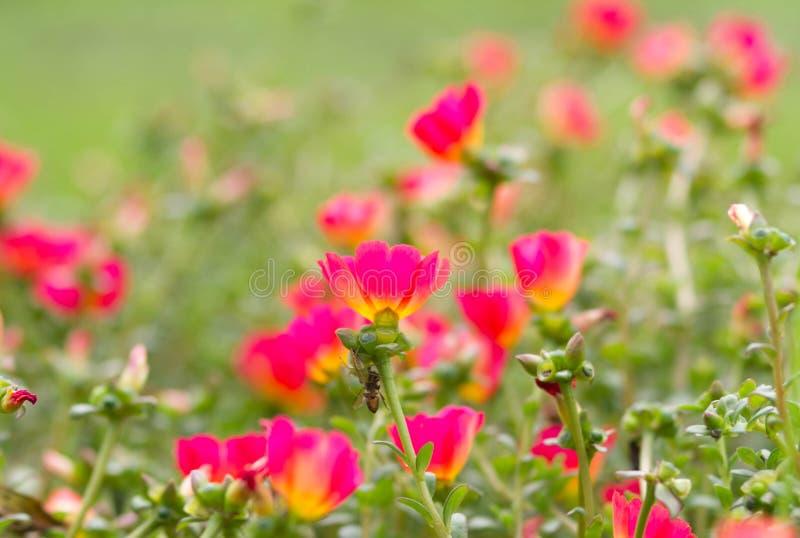 Download Закройте вверх общего портулака Стоковое Фото - изображение насчитывающей buckboard, цветок: 40590644