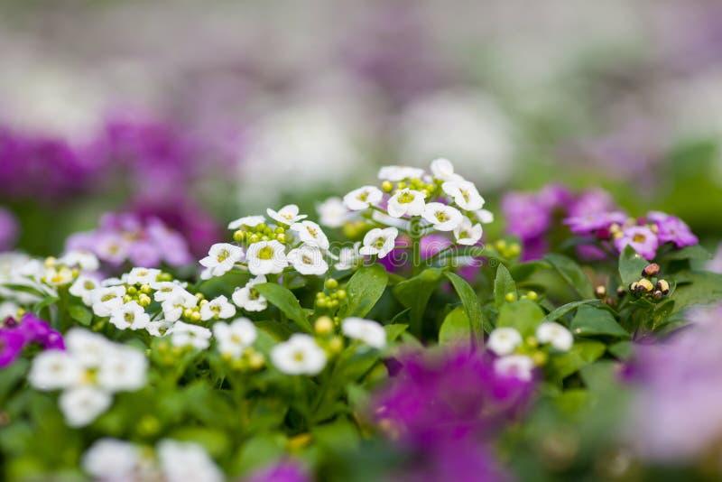 Закройте вверх довольно розовых, белых и фиолетовых цветков Alyssum, цветкового растения ежегодника крестоцветного стоковая фотография rf