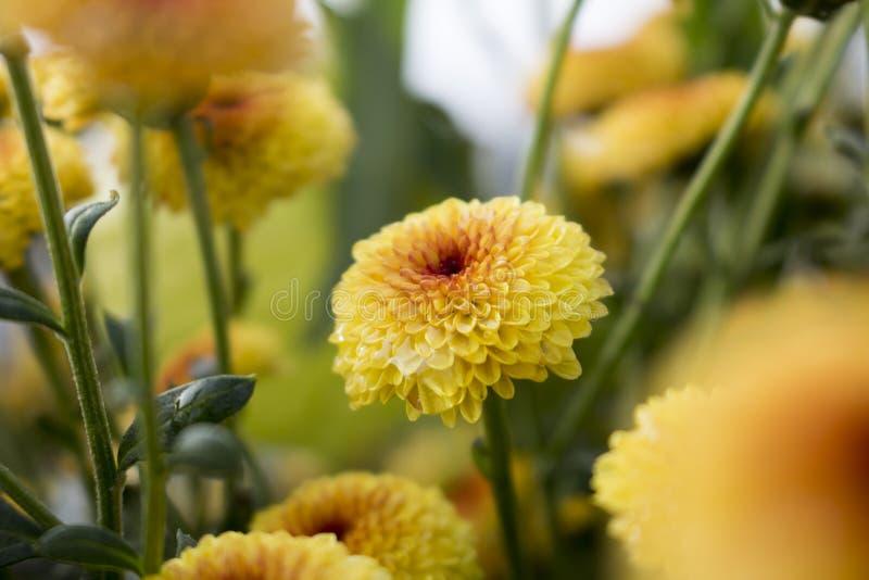 Закройте вверх одиночного леденца на палочке желтое цветение хризантемы полностью зацветает с падениями воды E стоковое фото
