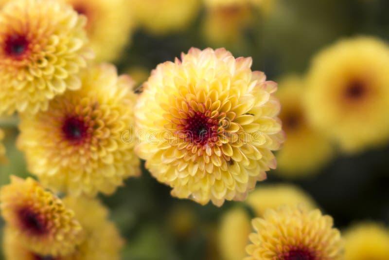 Закройте вверх одиночного леденца на палочке желтый цветок хризантемы полностью зацветает с падениями воды в центре E стоковые фото