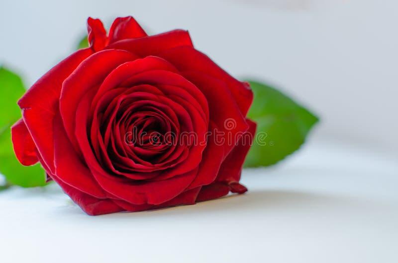 Закройте вверх одиночной красной розы на серой предпосылке, взгляде сверху стоковые фото