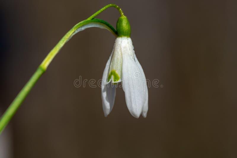 Закройте вверх одного одиночного цветка snowdrop стоковые изображения
