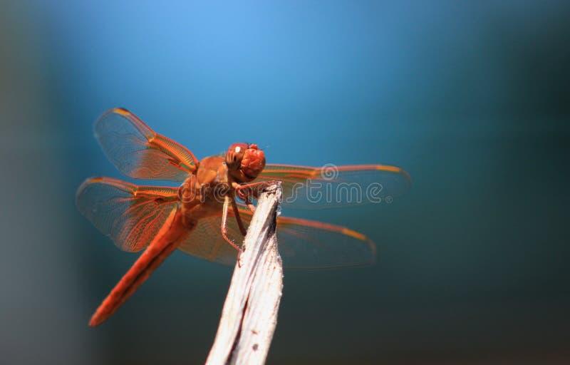Закройте вверх оранжевого dragonfly против сини стоковое фото rf