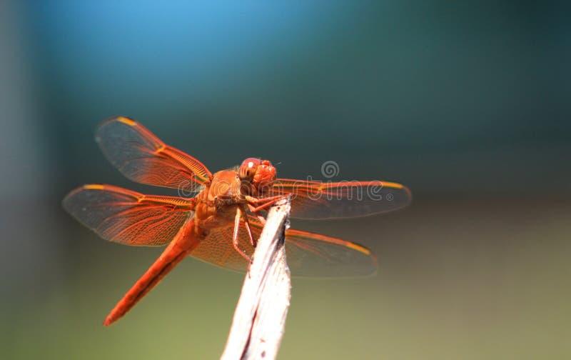 Закройте вверх оранжевого dragonfly против сини стоковые фотографии rf