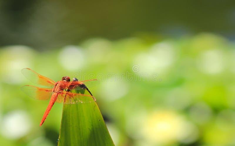 Закройте вверх оранжевого dragonfly прудом стоковая фотография rf